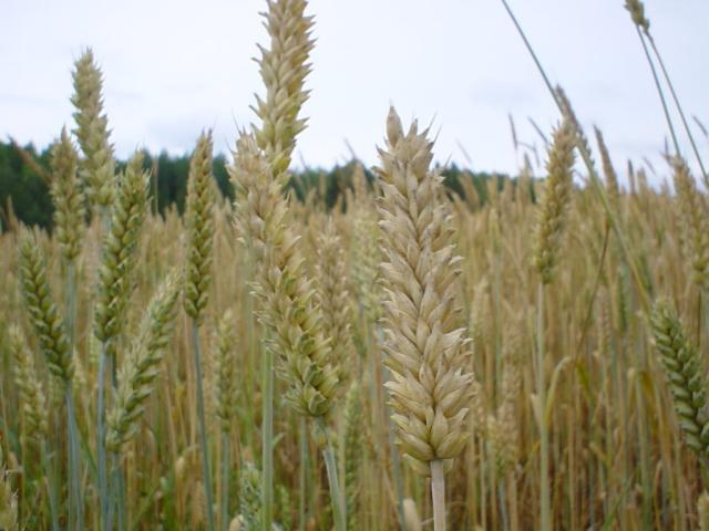 trigo cizaña