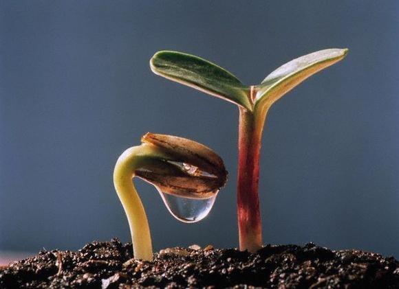 semilla germina